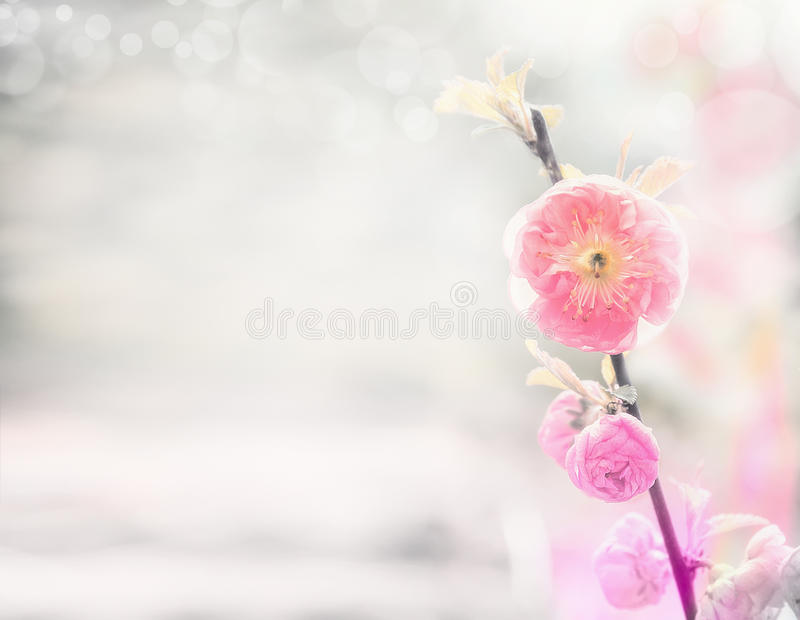 El fondo de la naturaleza de la primavera con la almendra pálida rosada florece imagenes de archivo