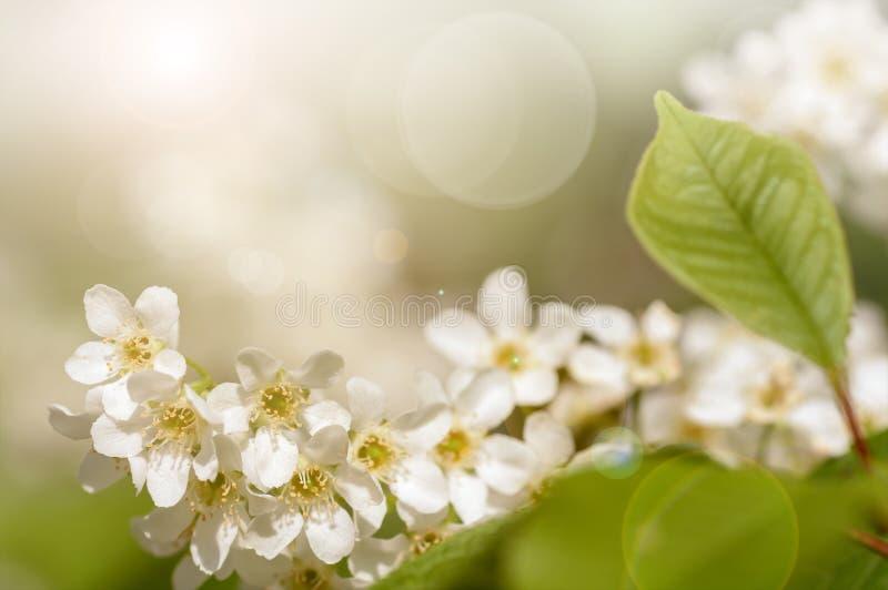 El fondo de la rama de la cereza florece, filtro aplicado fotografía de archivo libre de regalías