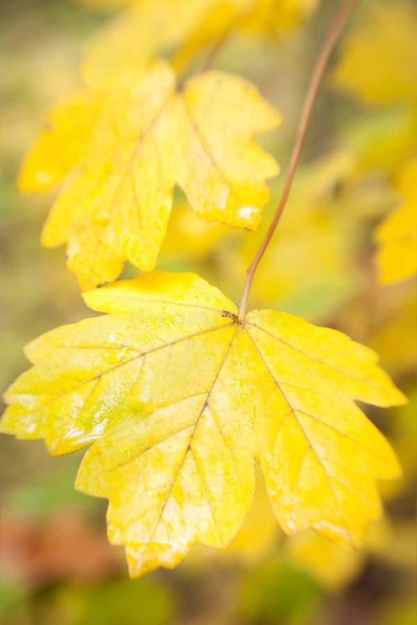El fondo de las hojas de otoño/utilizó la lente suave del foco foto de archivo