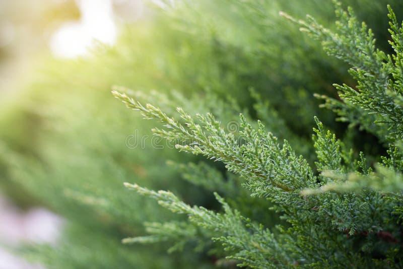 El fondo de las ramas del pino es borroso concepto del fondo de la naturaleza de la primavera hierba en fondo borroso en luz del  imágenes de archivo libres de regalías
