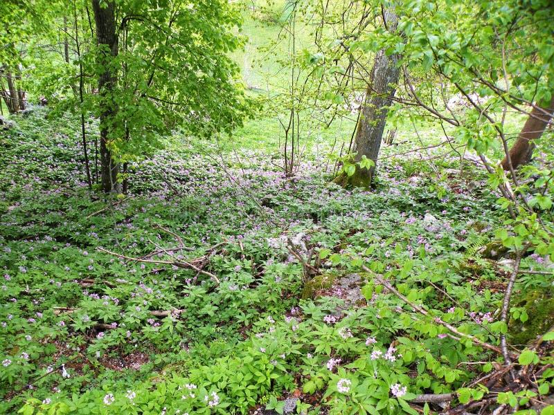 El fondo de un prado verde con las flores violetas hermosas, árboles crece, naturaleza intacta fotos de archivo