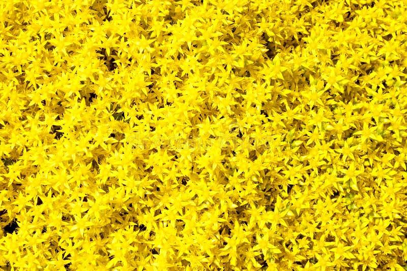 El fondo del amarillo florece sedum foto de archivo libre de regalías