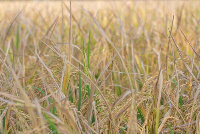 El fondo del arroz es marrón en el campo foto de archivo