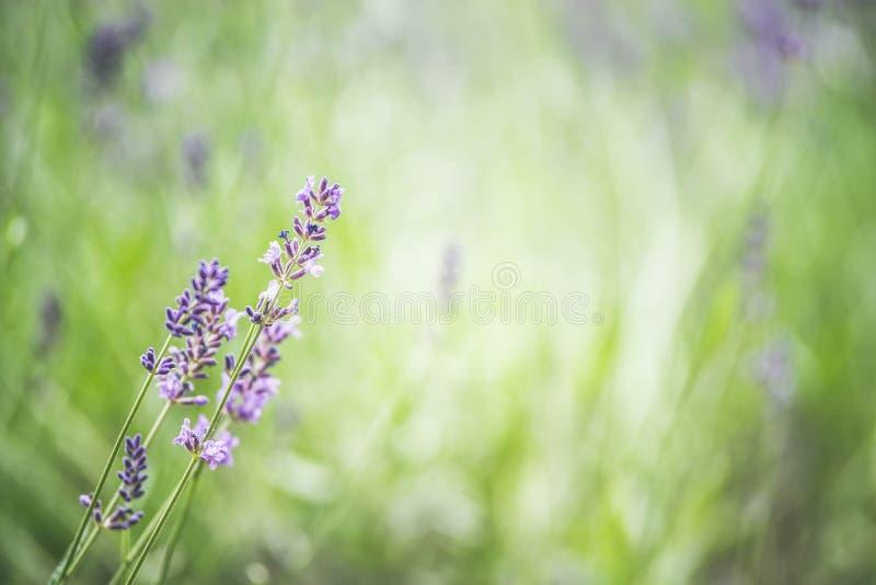 El fondo del jardín del verano con lavanda y Sun irradia, sitio web de la bandera con concepto que cultiva un huerto imágenes de archivo libres de regalías
