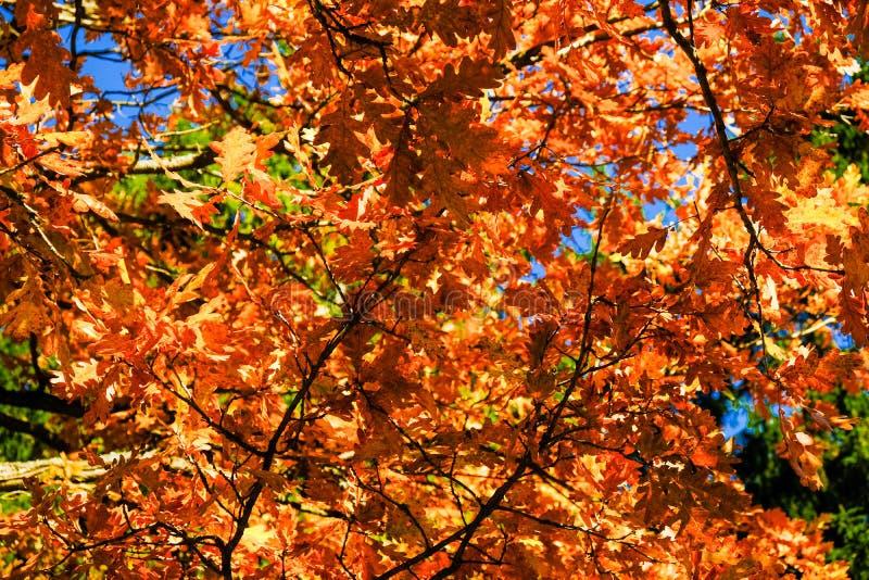 El fondo del roble de oro hermoso del otoño con rojo y el yeloow se va en un día soleado, contra el cielo azul imagen de archivo libre de regalías