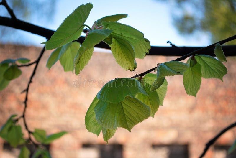 El fondo del verano, marco natural de las hojas verdes hermosas del árbol revela la luz suave del sol imágenes de archivo libres de regalías