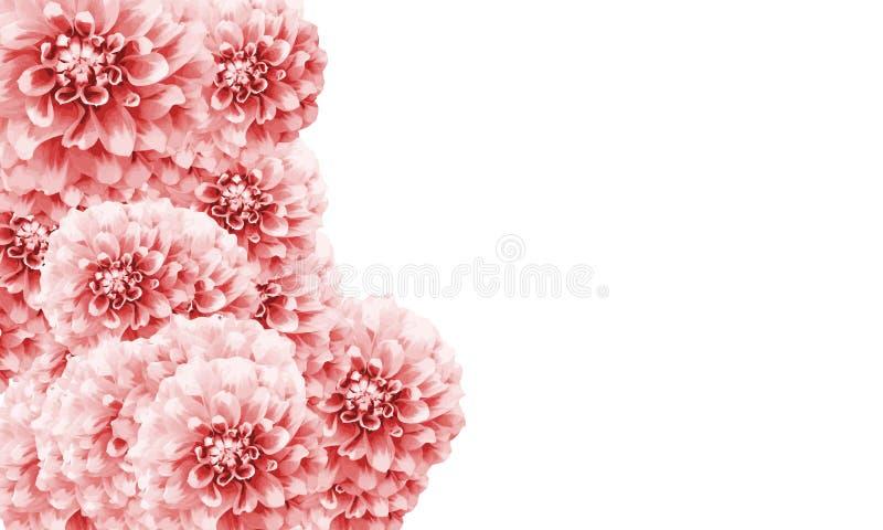El fondo floral del marco de la frontera de la dalia con la dalia blanca rosa clara florece el color del primer entonado con text fotografía de archivo