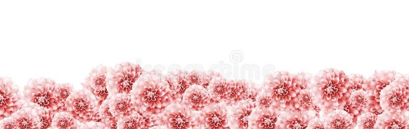 El fondo floral del marco de la frontera de la dalia con color blanco rosa claro del primer de las flores de la dalia entonó con  fotografía de archivo libre de regalías