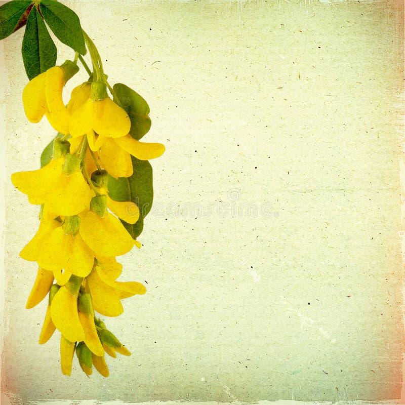 El fondo floral del vintage con el acacia amarillo florece en un marrón foto de archivo libre de regalías