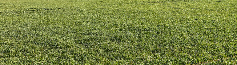 El fondo natural con el producto de trigo verde Campo con la hierba verde imagenes de archivo