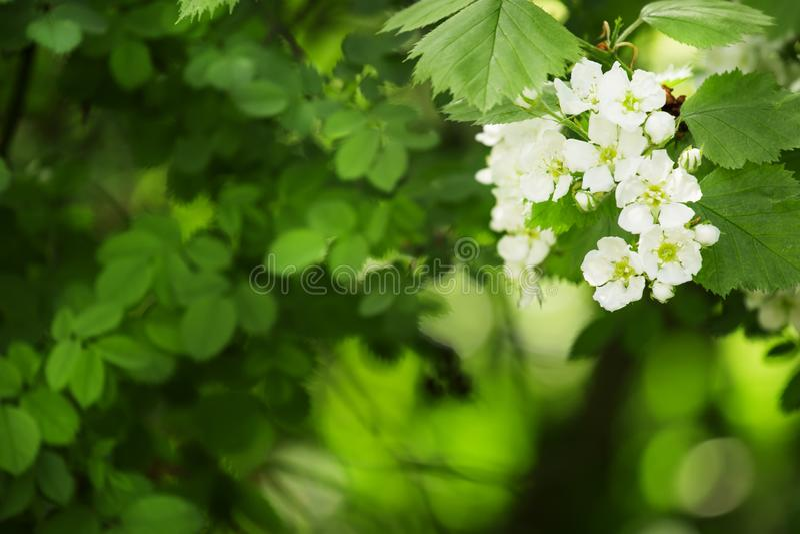 El fondo natural verde del verano, espino floreciente, empañó el imag imagen de archivo libre de regalías
