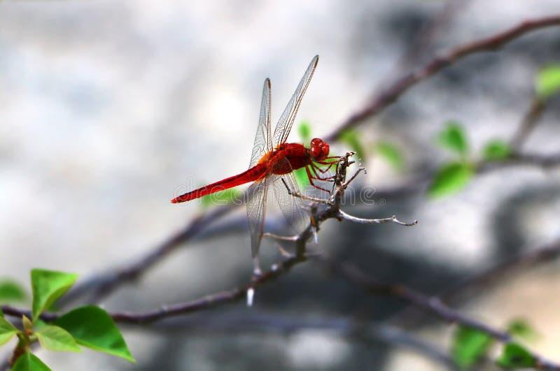 El fonscolombii rojo-veteado del dragonflySympetrum del darter imagen de archivo libre de regalías
