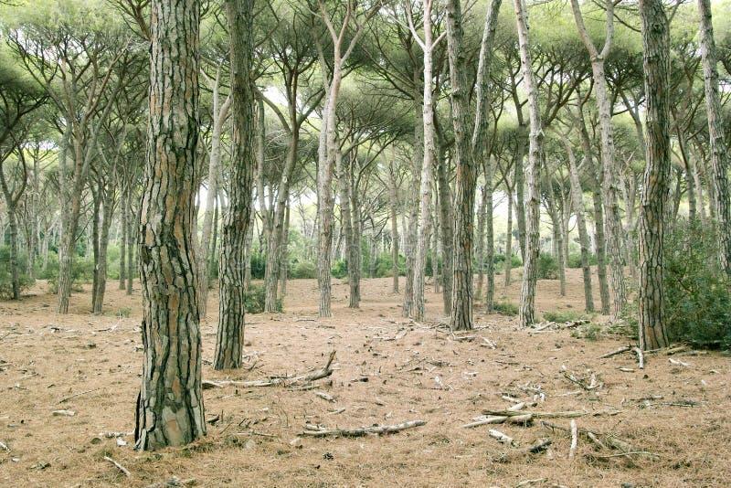 El Foreshortening del bosque del pino del feniglia fotos de archivo