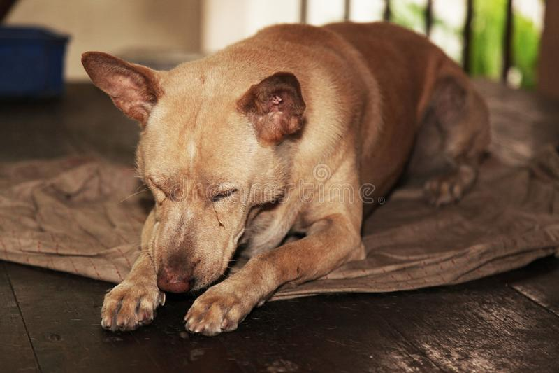 El fracaso del perro de Brown en la manta vieja fotos de archivo libres de regalías
