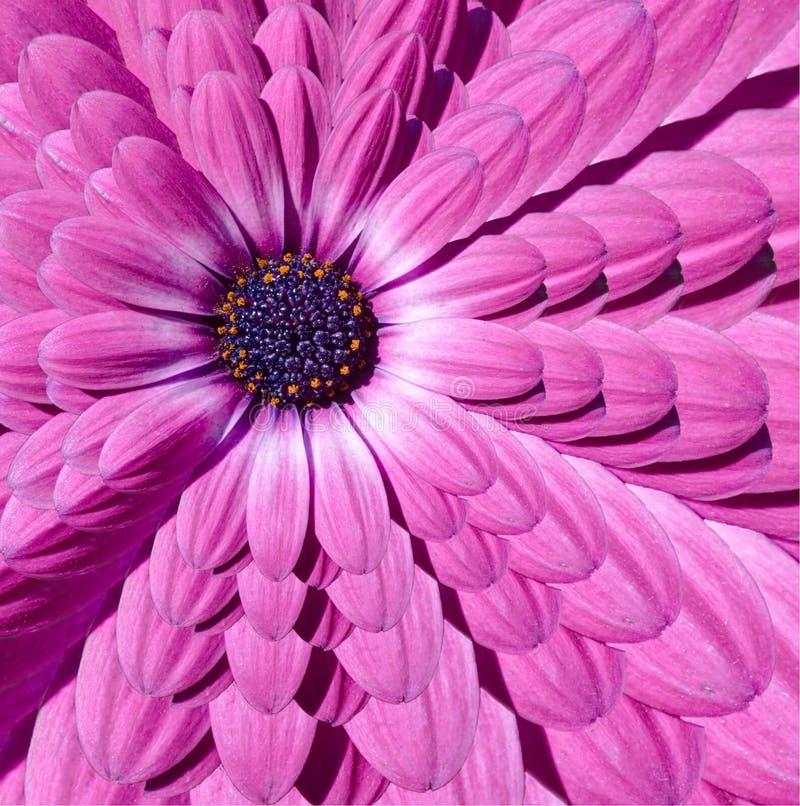 El fractal magenta rosado del extracto de la flor de la margarita de la manzanilla multiplica el fondo del modelo del efecto Frac fotos de archivo