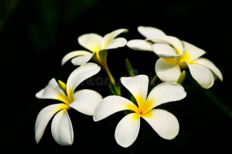 El Frangipani (Plumeria) florece en negro imagenes de archivo