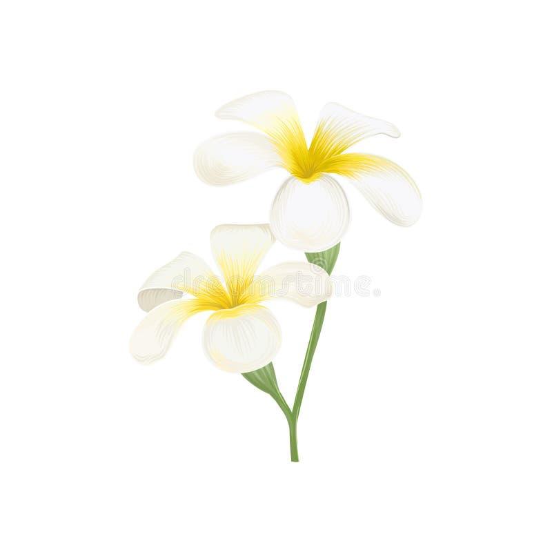 El frangipani blanco y amarillo del plumeria florece el ejemplo del vector libre illustration