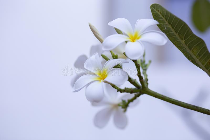 El Frangipani florece el Frangipani blanco y se va hermoso, concepto: Símbolos de relajación del perfume del aroma del balneario, imagenes de archivo
