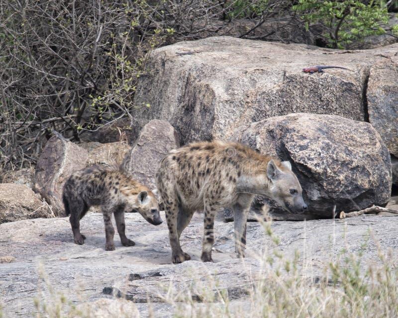 El frontview del primer de dos manchó las hienas que se colocaban en una roca fotos de archivo