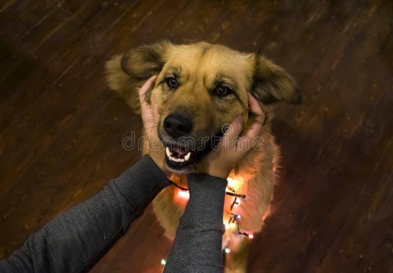 El frotar ligeramente sonriente muy lindo de la guirnalda y de las manos del perro mullido de la Navidad que lleva fotografía de archivo libre de regalías