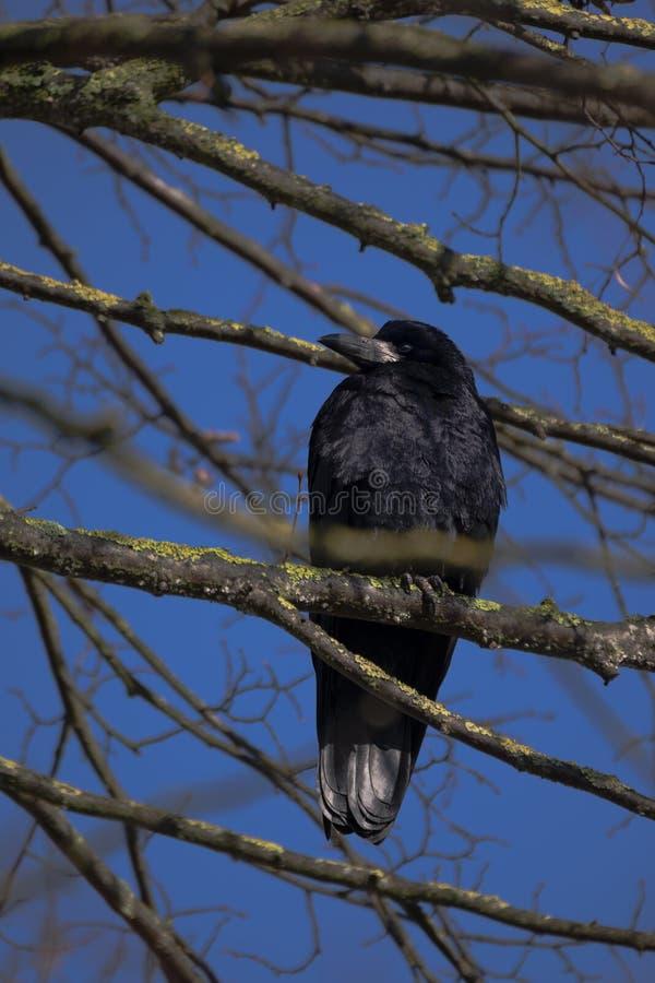 El frugilegus del Corvus del grajo se sienta en las ramas desnudas de un aga del árbol foto de archivo