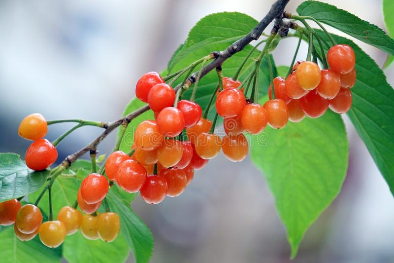 El fruto de un albaricoque sobre un árbol imagen de archivo libre de regalías