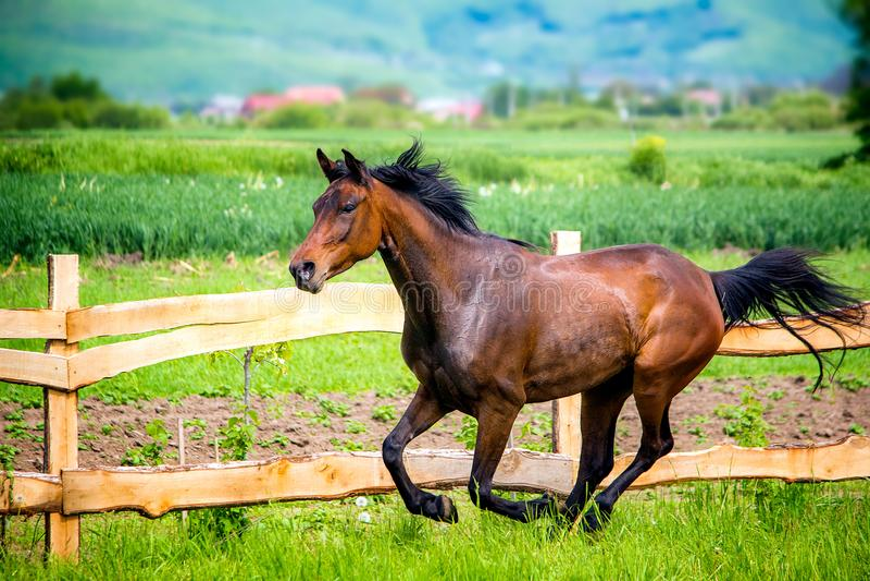 El funcionamiento árabe Anglo del caballo salvaje y libera en tiempo de verano fotos de archivo libres de regalías