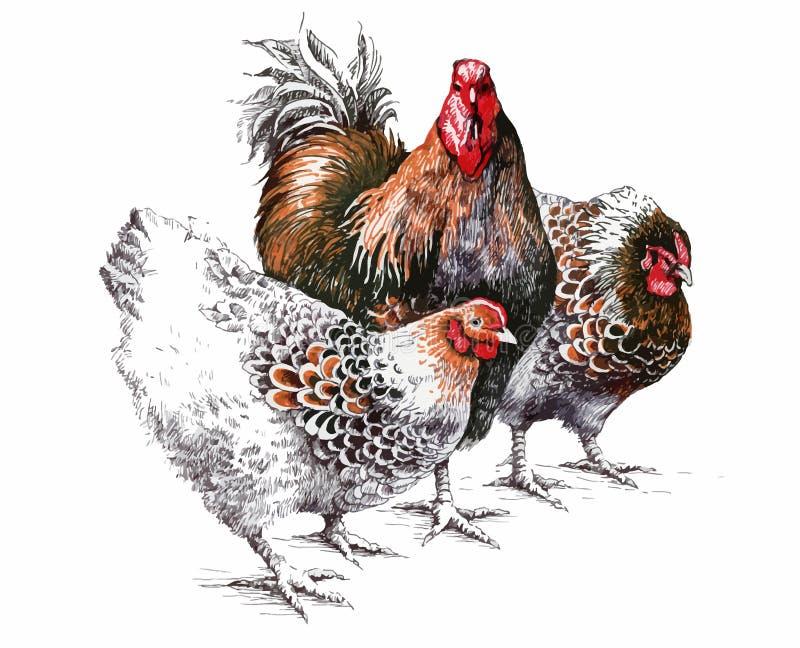 El gallo y la gallina de la acuarela aislaron el objeto, pájaro hermoso brillante stock de ilustración