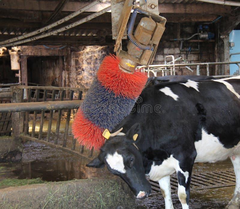 El ganado apoya Scratcher fotos de archivo