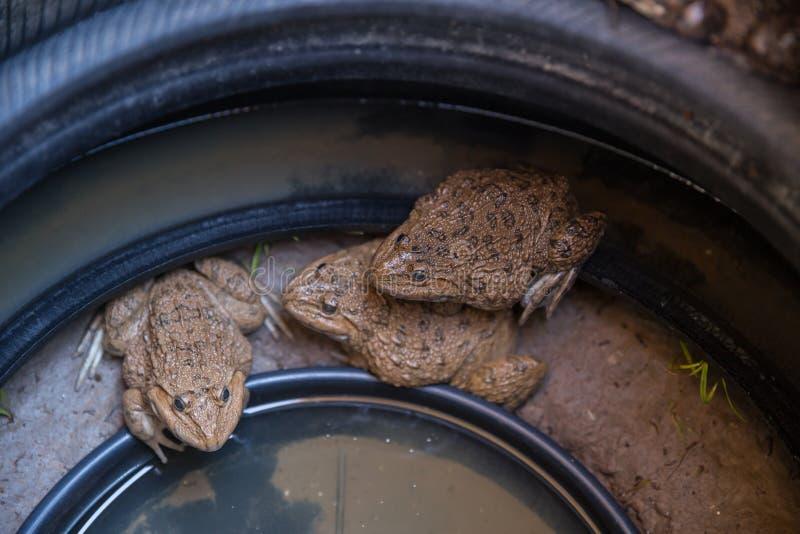 El ganado de la rana mugidora en neumático viejo apila fotografía de archivo libre de regalías