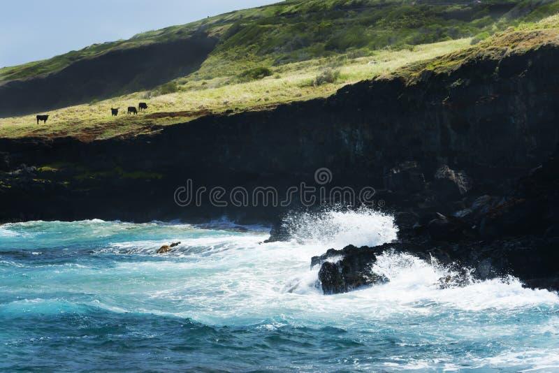 El ganado pasta en el borde negro del acantilado en Hawaii fotografía de archivo