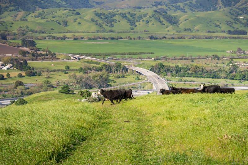El ganado reúne en un pasto para arriba en las colinas; valle con los campos agrícolas y la carretera en el fondo, sur San Franci fotos de archivo libres de regalías