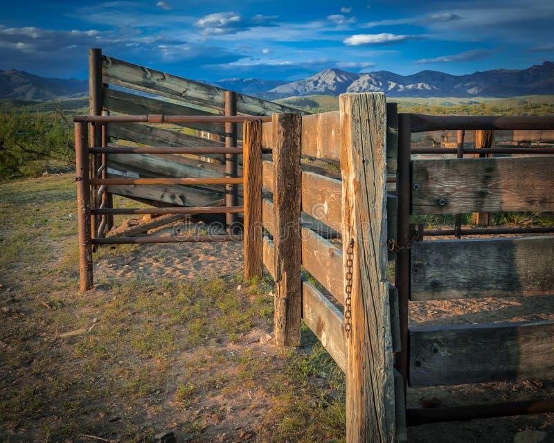 El ganado tira en el desierto de Arizona imagen de archivo