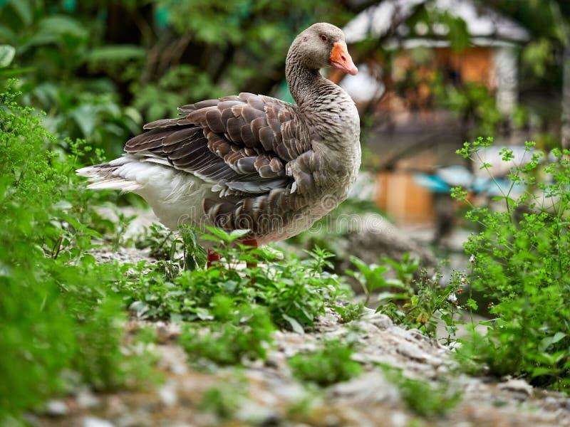 El ganso de ganso silvestre salvaje en la charca foto de archivo