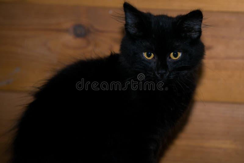 El gatito absolutamente negro con los ojos amarillos se sienta y mira en la cámara imágenes de archivo libres de regalías