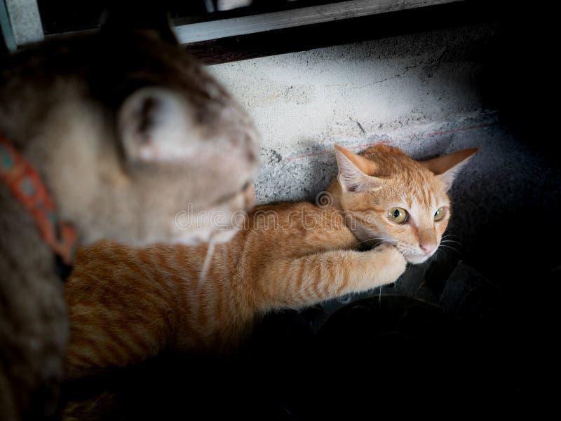 El gatito amarillo era Gray Cat Threatened imágenes de archivo libres de regalías