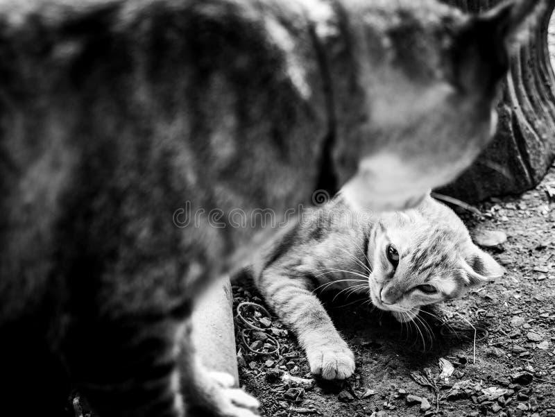 El gatito amarillo estaba listo para correr fotografía de archivo libre de regalías