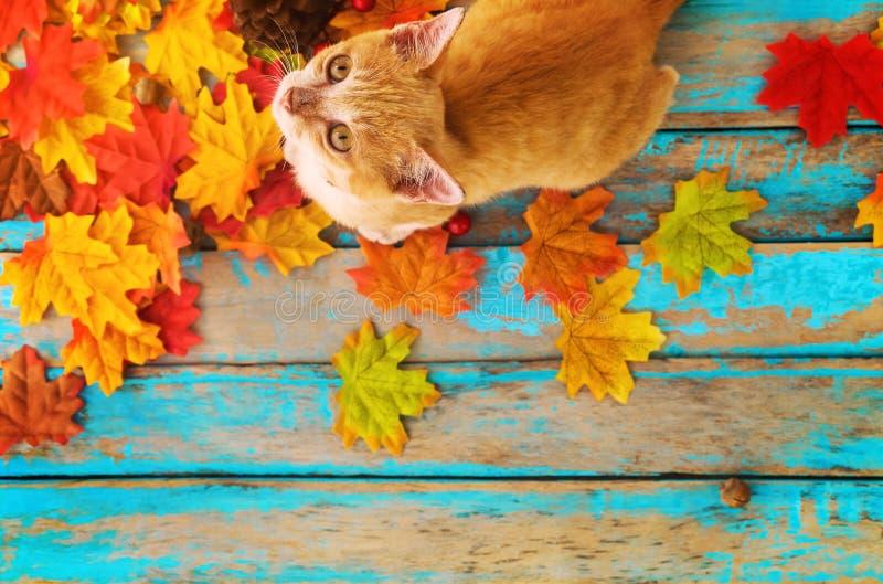 El gatito anaranjado mira para arriba y sentándose en las hojas de arce en otoño fotos de archivo libres de regalías