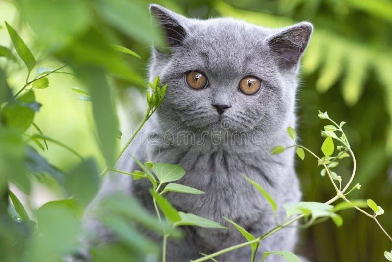 El gatito británico del shorthair ocultó en la hierba y la mirada de la cámara, azul del color fotos de archivo