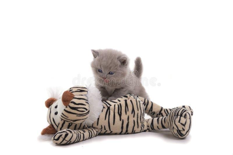 El gatito británico púrpura se coloca en un fondo blanco, derrotó un tigre del juguete edad 1 mes fotografía de archivo libre de regalías