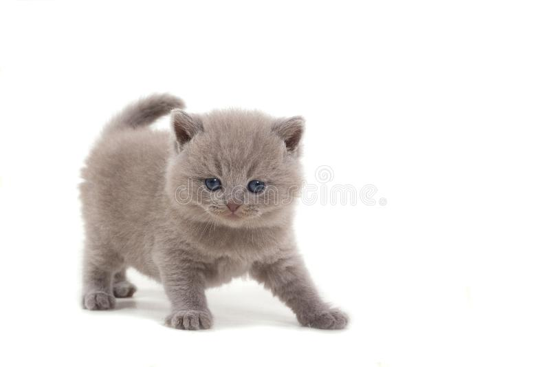 El gatito británico púrpura se coloca en un fondo blanco y miradas en la cámara edad 1 mes fotografía de archivo libre de regalías