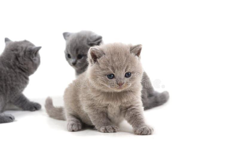 El gatito británico púrpura y dos hermanos se colocan en un fondo blanco, mirando abajo fotografía de archivo libre de regalías