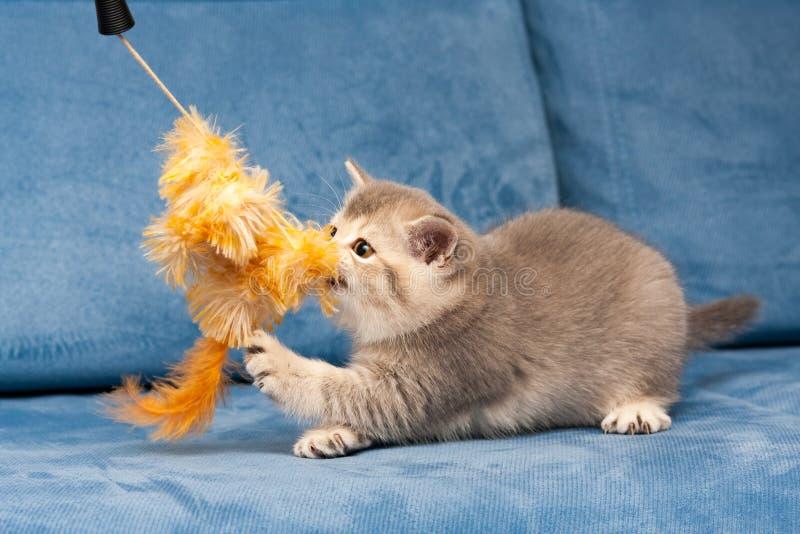 El gatito de Gray British juega con el juguete anaranjado peludo foto de archivo libre de regalías