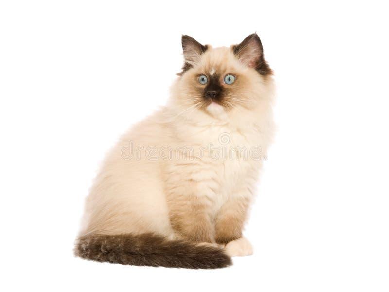 El gatito de Ragdoll isolatated en blanco fotos de archivo libres de regalías