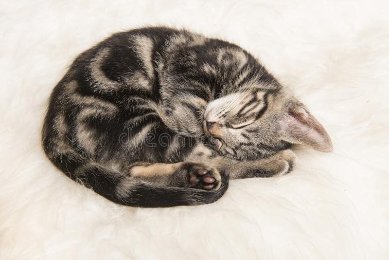 El gatito del gato atigrado el dormir se encrespó para arriba en una piel blanca fotos de archivo