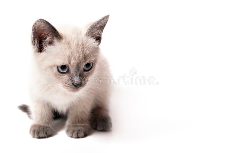 El gatito del punto del color se sienta en un fondo blanco fotografía de archivo libre de regalías