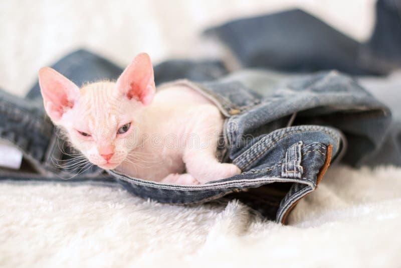 El gatito duerme en el bolsillo de tejanos foto de archivo