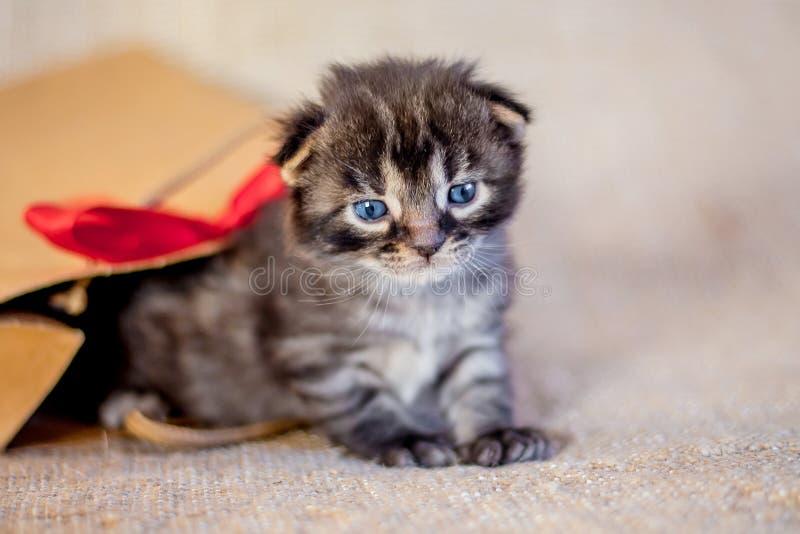 El gatito gris con los ojos azules mira con el paquete del regalo A maravillosa fotografía de archivo libre de regalías