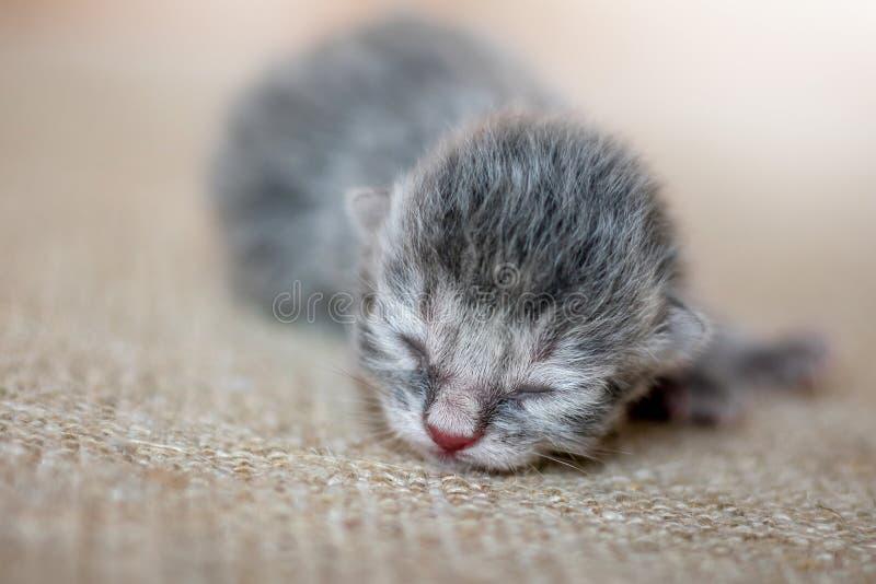 El gatito gris despreocupado duerme, esperando a una mamá Wai recién nacido del bebé fotos de archivo libres de regalías