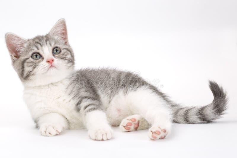 El gatito gris miente en un fondo blanco y la mirada al lado imagen de archivo